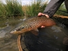 McCoy Spring Creek Brown Trout